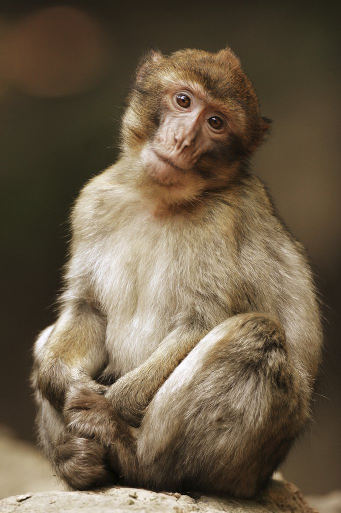 Stock Photo: 4279-13854 barbary ape, macaque - sitting, Macaca sylvanus