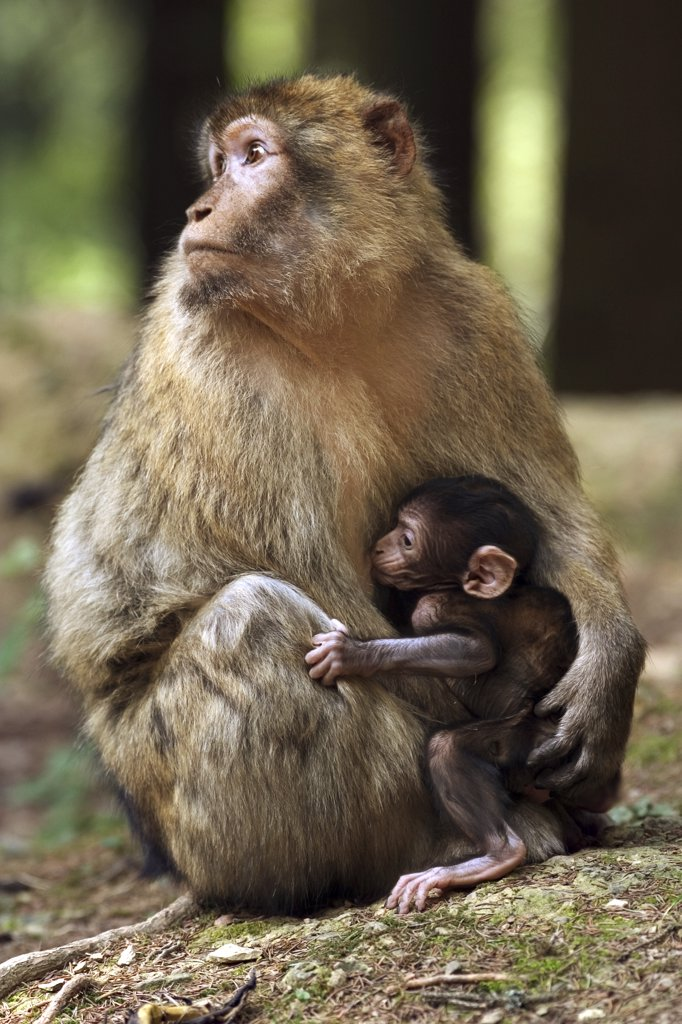 barbary ape, macaque - with cub, Macaca sylvanus : Stock Photo