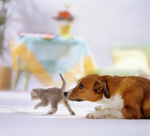 Stock Photo: 4279-14063 animal friendship : hybrid dog and British Shorthair kitten