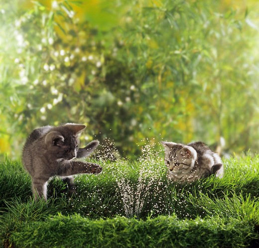 Stock Photo: 4279-14136 two British Shorthair kittens at fountain