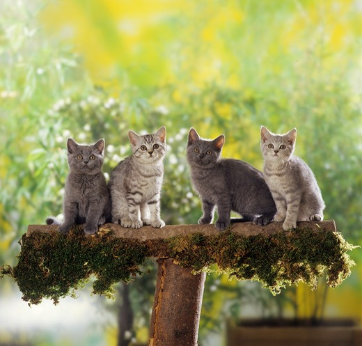 Stock Photo: 4279-14408 four British Shorthair kittens - on tree trunk