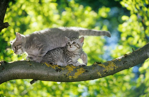 Stock Photo: 4279-14456 two British Shorthair kittens - on branch