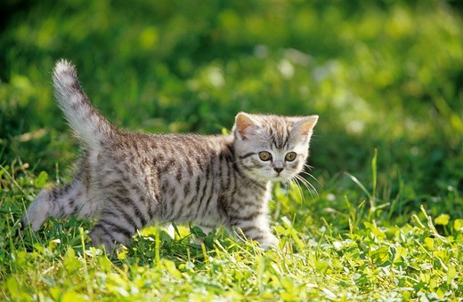 Stock Photo: 4279-14459 British Shorthair kitten - standing on meadow