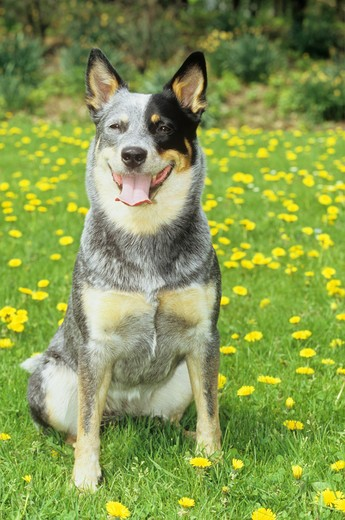 Stock Photo: 4279-14638 Australian Cattle Dog - sitting on meadow