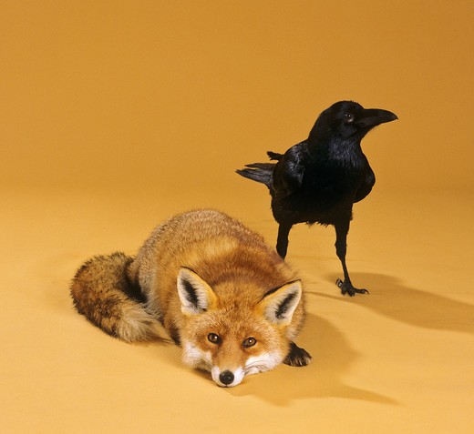 animal friendship: red fox and raven : Stock Photo