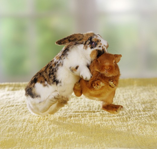 two pygmy rabbits - fighting for hierarchy : Stock Photo