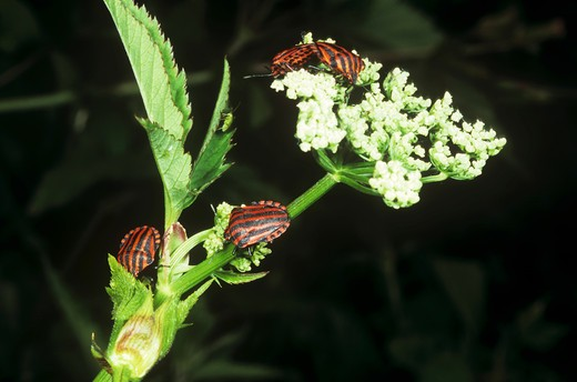 shield bugs on flower, Graphosoma lineatum : Stock Photo