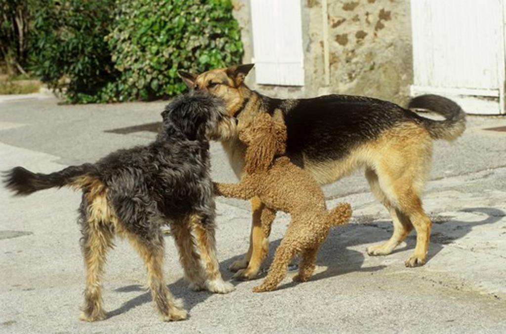 dog encounter : shepherd dog, poodle and half breed dog : Stock Photo