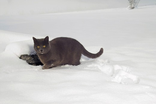 Stock Photo: 4279-15376 Carthusian cat in snow