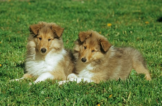 2 Collie puppies on meadow : Stock Photo