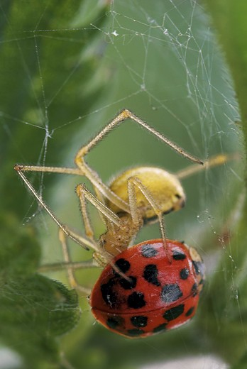 Stock Photo: 4279-15414 spider munching ladybird