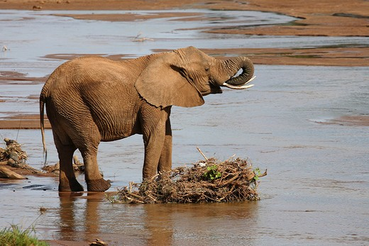 African elephant - drinking, Loxodonta africana : Stock Photo
