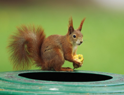 European squirrel with food, Sciurus vulgaris : Stock Photo
