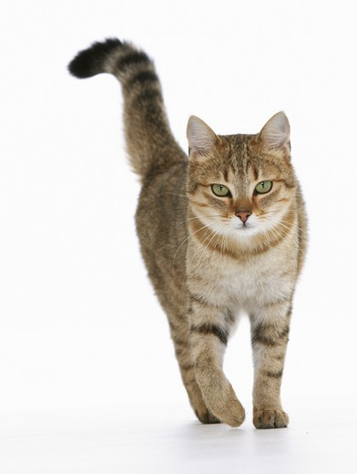 Stock Photo: 4279-15648 domestic cat walking - cut out