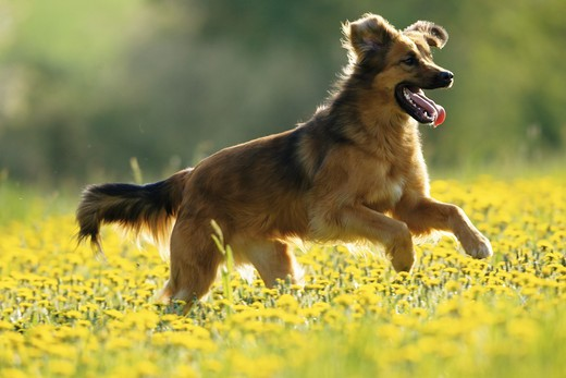 half breed dog - running on meadow : Stock Photo
