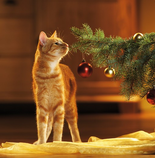 Stock Photo: 4279-15745 christmas : domestic cat - sniffing at twig