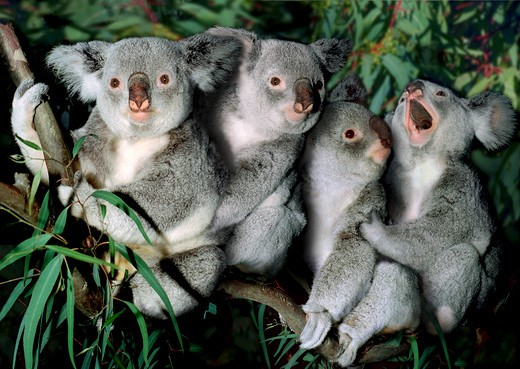 4 Koalas : Stock Photo
