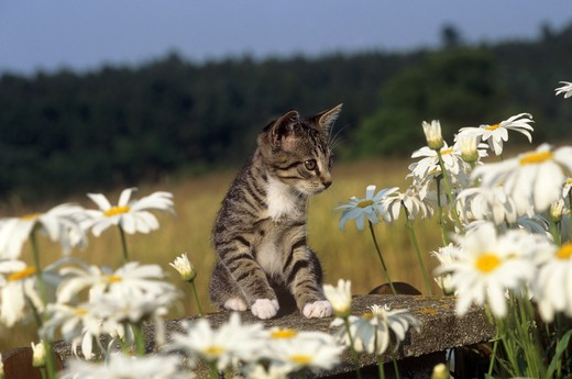 Stock Photo: 4279-15810 young kitten - between marguerites