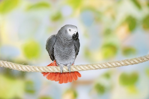 Congo African Grey parrot on rope : Stock Photo