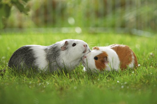 two guinea pigs on meadow : Stock Photo