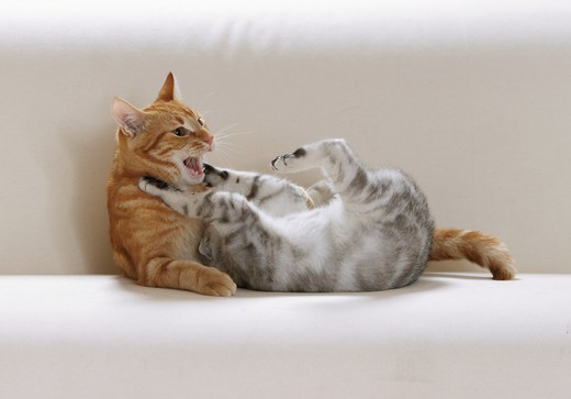 Stock Photo: 4279-16238 British Shorthair cat and domestic cat - playing
