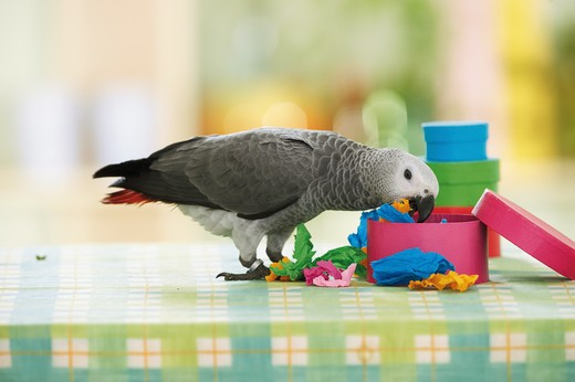 Stock Photo: 4279-16249 Congo African Grey parrot - playing, Psittacus erithacus