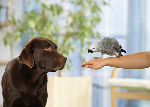 Stock Photo: 4279-16269 Labrador Retriever watching Congo African Grey parrot, Psittacus erithacus