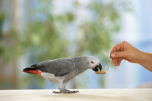 Stock Photo: 4279-16270 Congo African Grey parrot is getting food, Psittacus erithacus