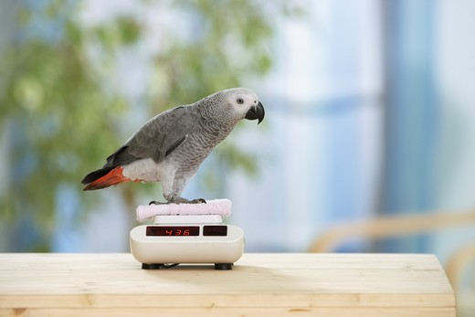Congo African Grey parrot - is being weighed, Psittacus erithacus : Stock Photo
