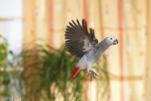 Congo African Grey parrot - flying, Psittacus erithacus : Stock Photo