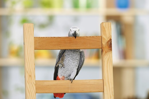 Congo African Grey parrot at backrest, Psittacus erithacus : Stock Photo