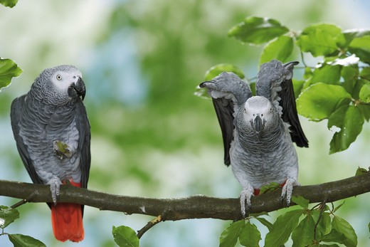 two Congo African Grey parrots on branch, Psittacus erithacus : Stock Photo