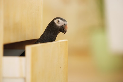 Timneh African Grey parrot in drawer, Psittachus erithacus timneh : Stock Photo
