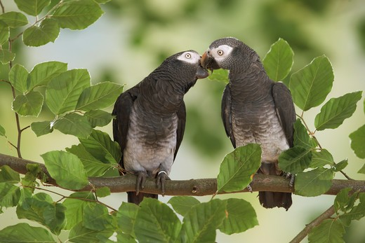two Timneh African Grey parrots - smooching, Psittacus erithacus timneh : Stock Photo