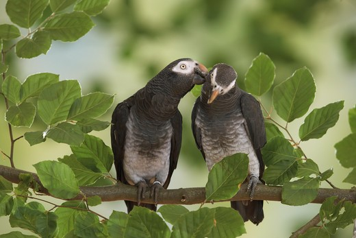 Stock Photo: 4279-16329 two Timneh African Grey parrots on branch, Psittacus erithacus timneh