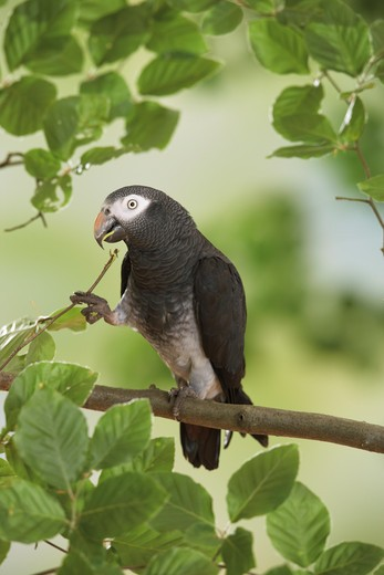 Stock Photo: 4279-16331 Timneh African Grey parrot on branch, Psittacus erithacus timneh