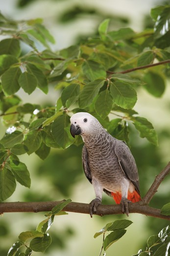 Stock Photo: 4279-16335 Congo African Grey parrot on branch, Psittacus erithacus