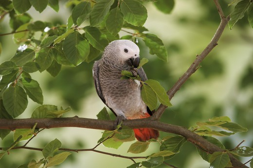 Congo African Grey parrot on branch, Psittacus erithacus : Stock Photo