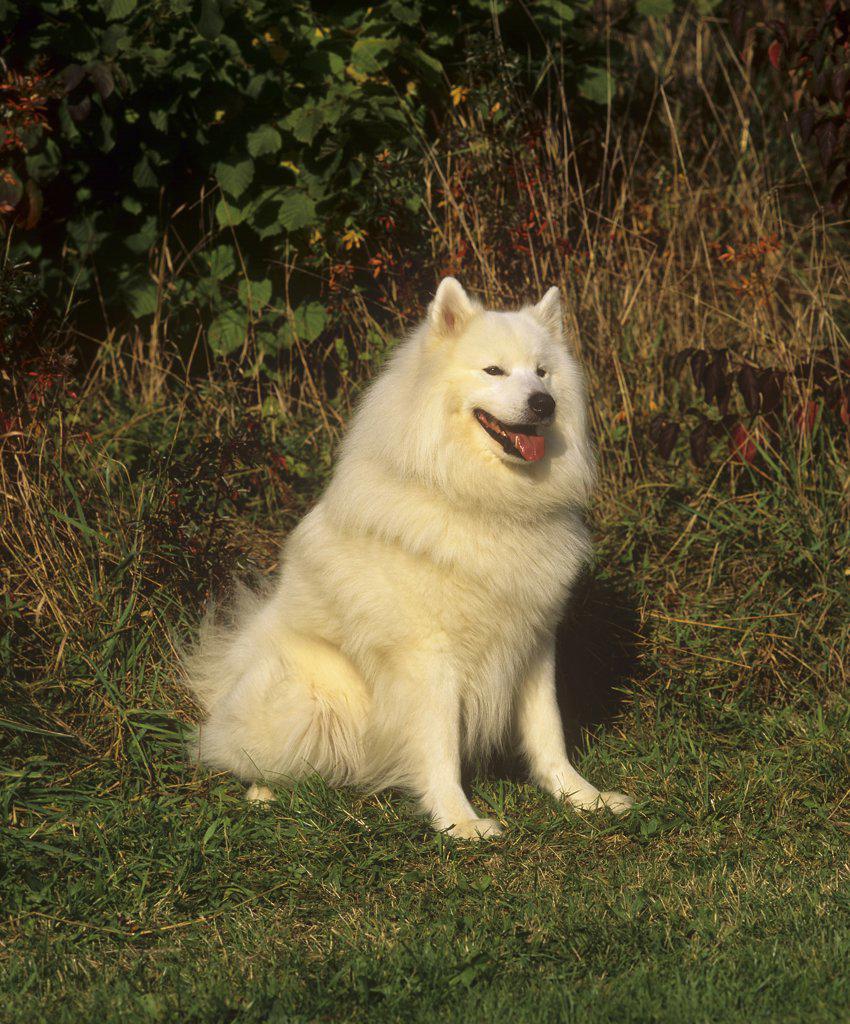Stock Photo: 4279-16500 Samoyed dog - sitting on meadow