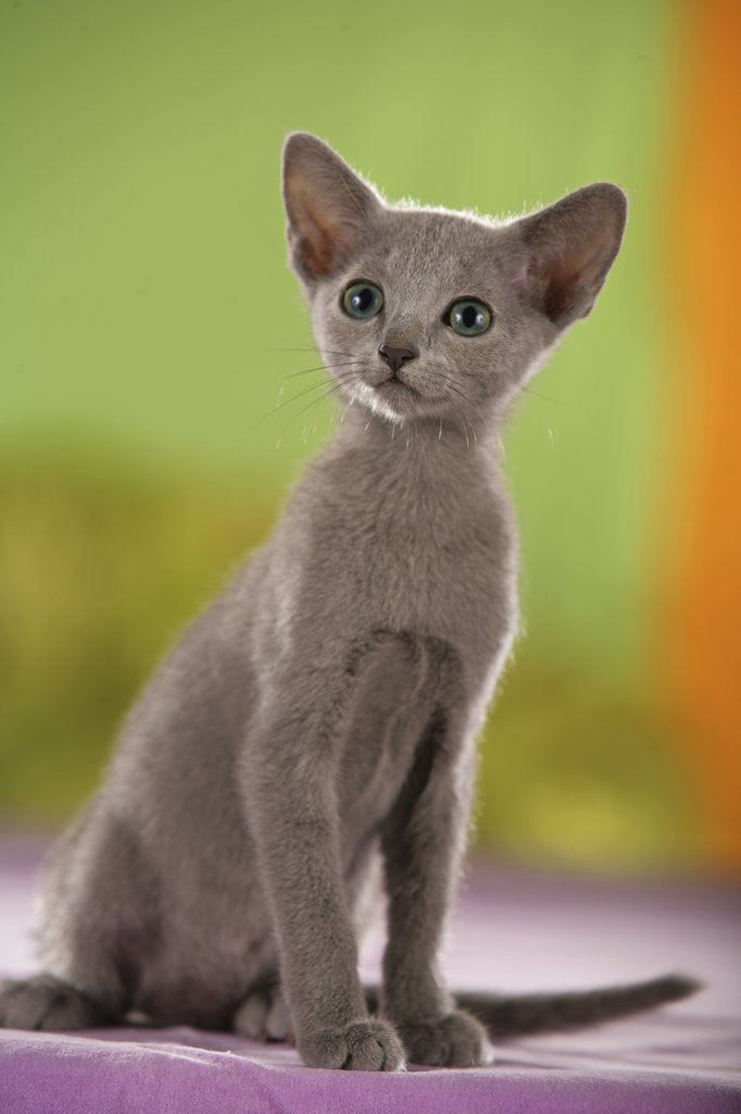 Stock Photo: 4279-16556 young Oriental Shorthair - sitting
