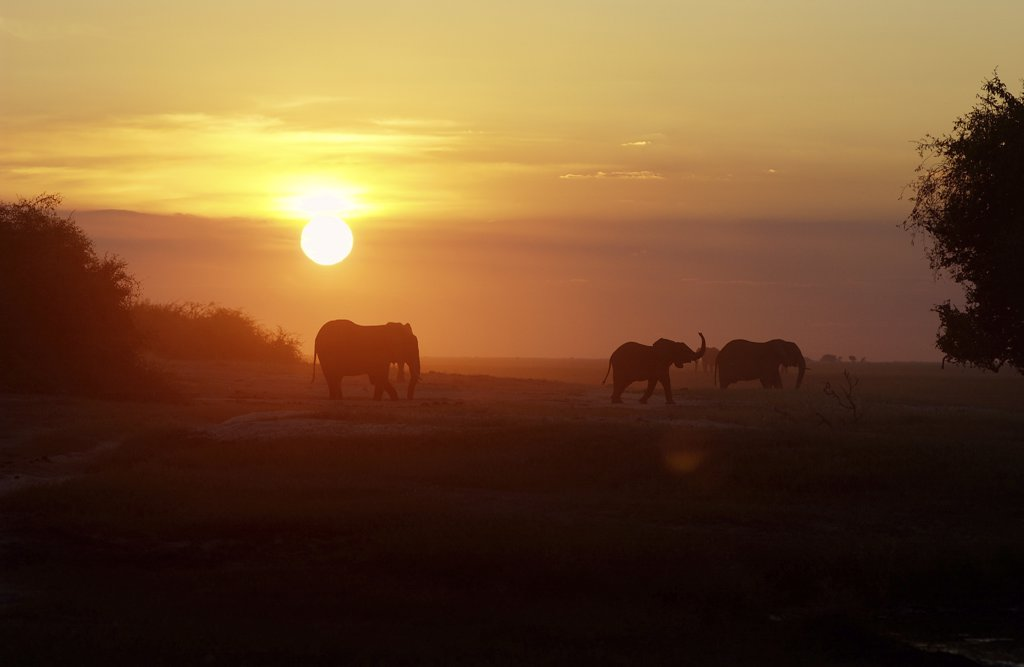 Stock Photo: 4279-16682 African elephants - sundown, Loxodonta africana