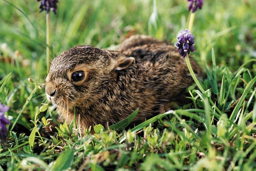 Stock Photo: 4279-1672 lepus europaeus, european hare