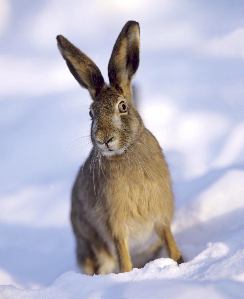 European hare - sitting in snow, Lepus europaeus : Stock Photo