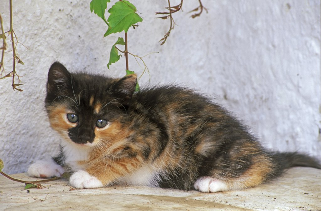 Stock Photo: 4279-16742 young kitten - lying lateral
