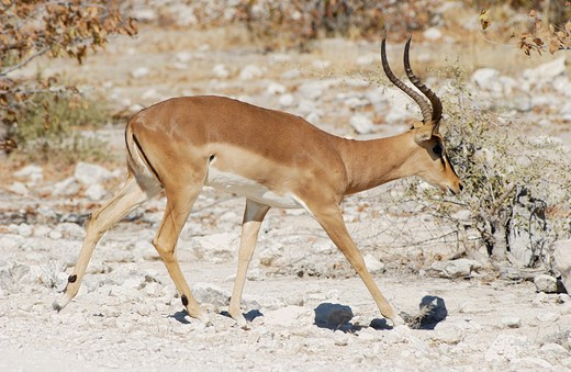 Stock Photo: 4279-17260 impala - walkig lateral, Aepyceros melampus