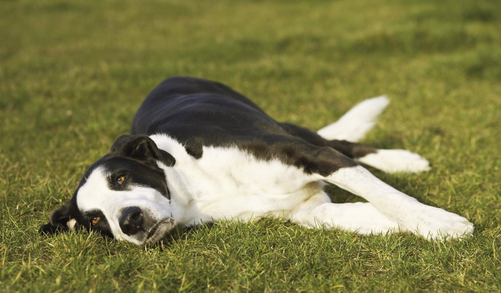 half breed dog - lying on meadow : Stock Photo