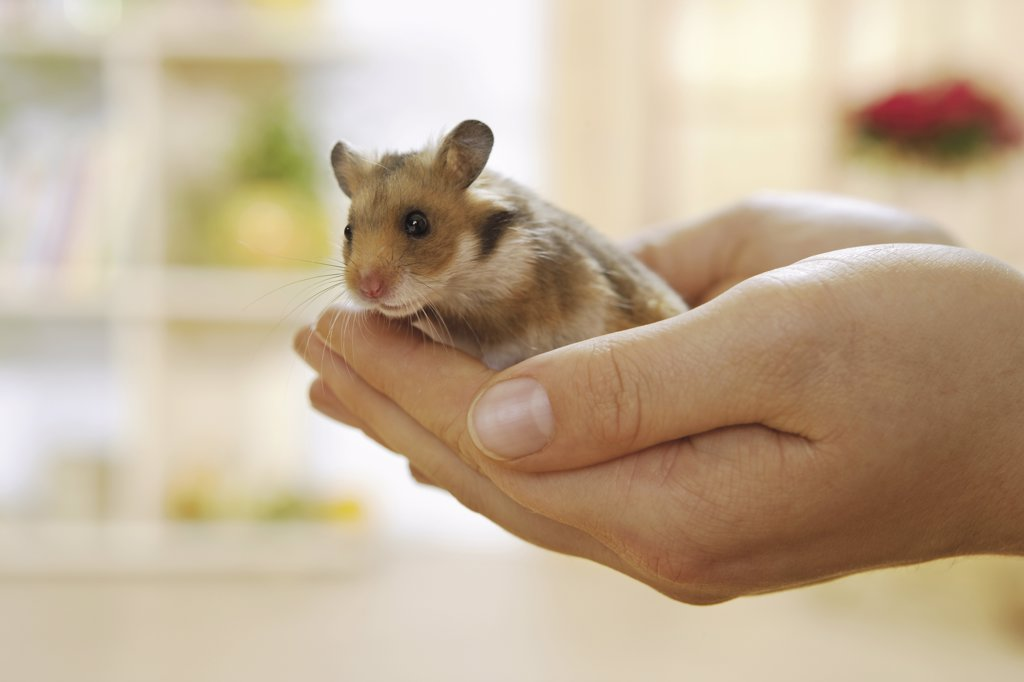 young golden hamster on hand, Mesocricetus auratus : Stock Photo