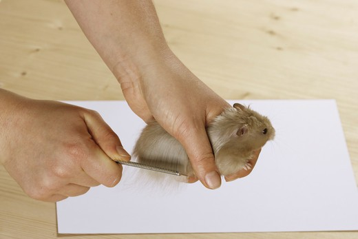 Stock Photo: 4279-17896 golden hamster - being brushed