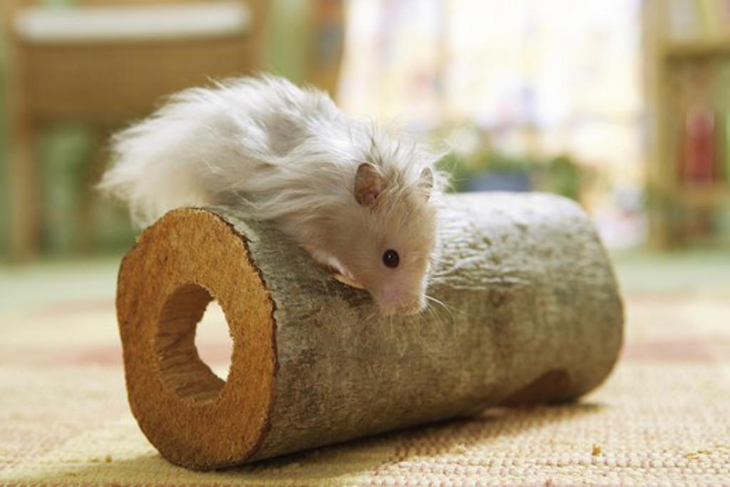 Stock Photo: 4279-17915 golden hamster - climbing