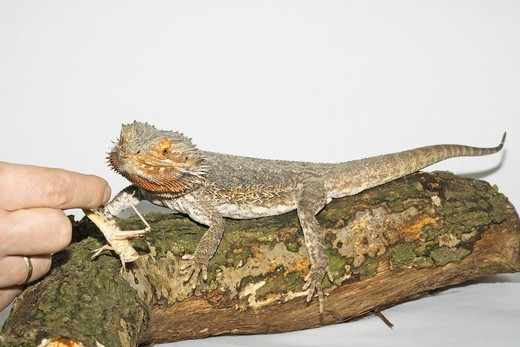 Stock Photo: 4279-17944 bearded dragon getting grasshopper, Pogona spp.